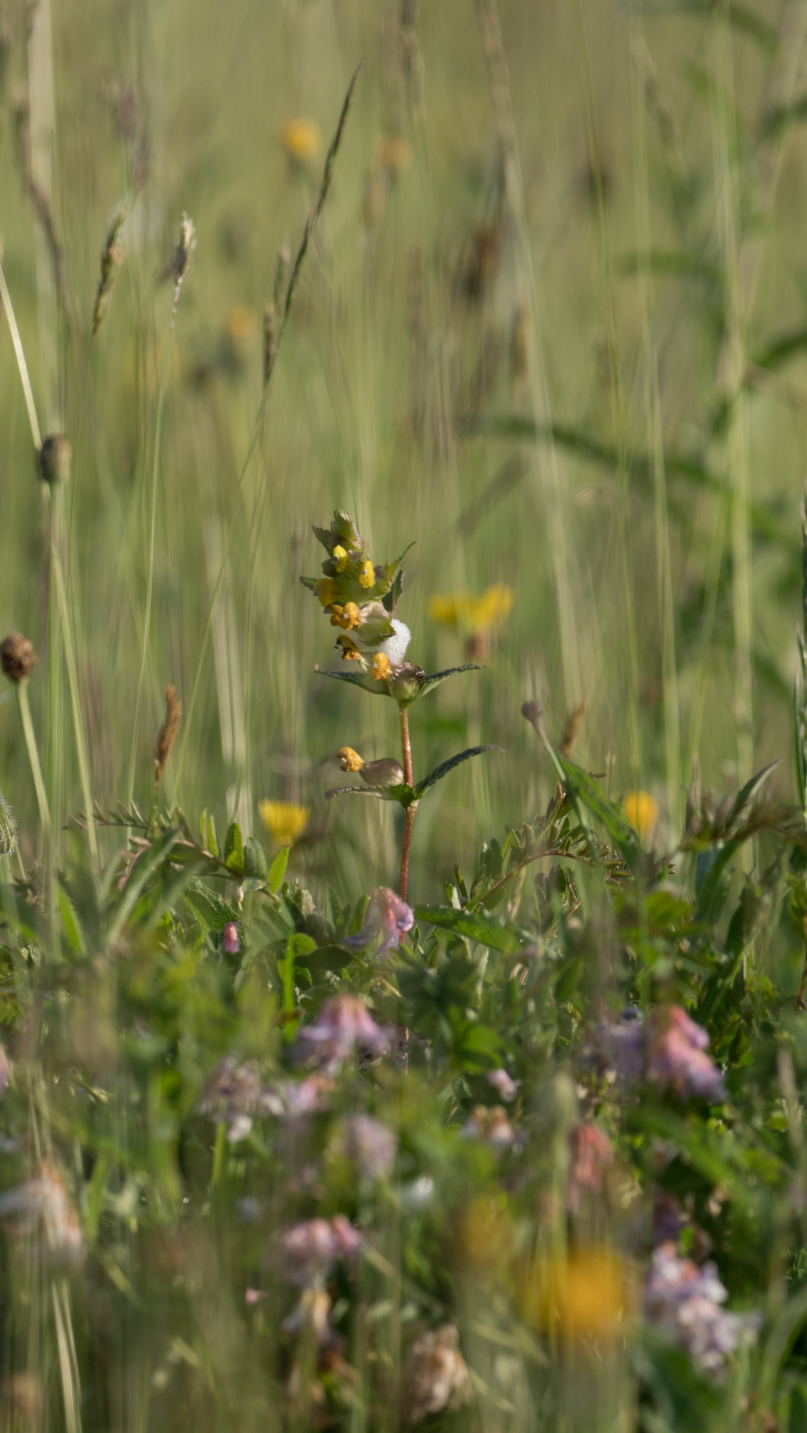 Yellow rattle and wood bitter-vetch