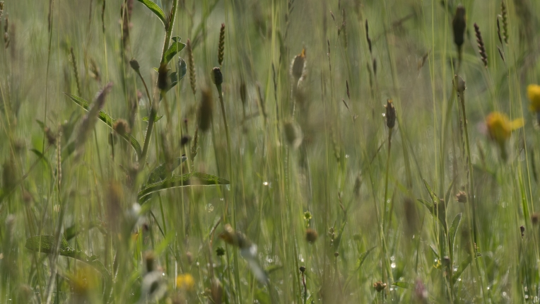 Hay meadow grasses