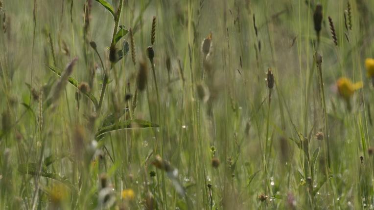 Hay meadow grasses