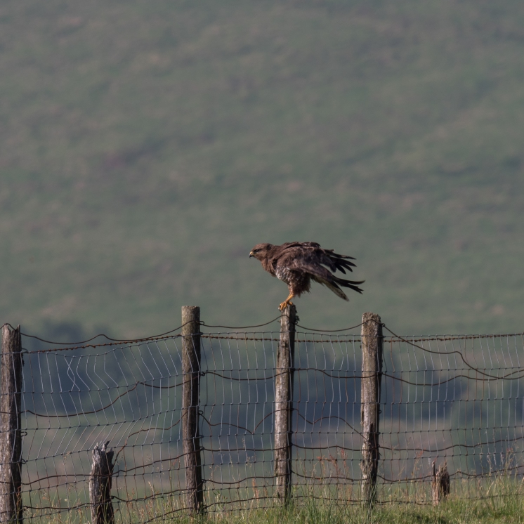 Buzzard on fence post