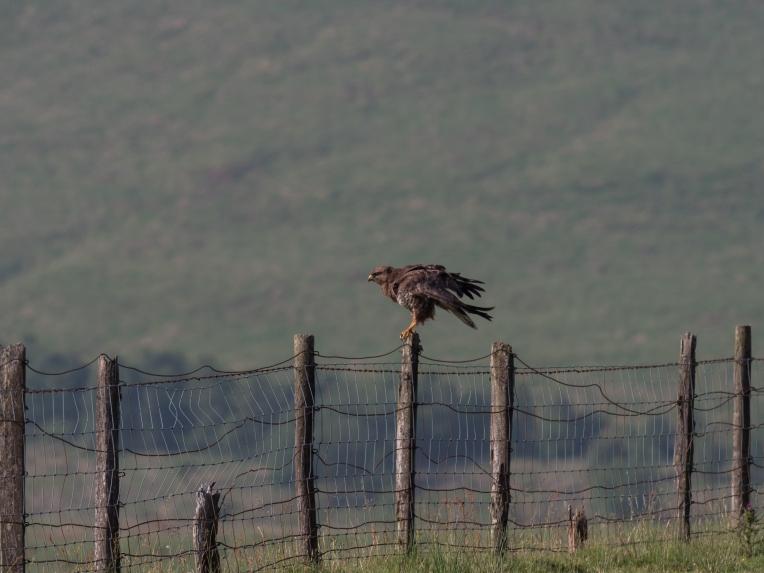 Buzzard on fence post