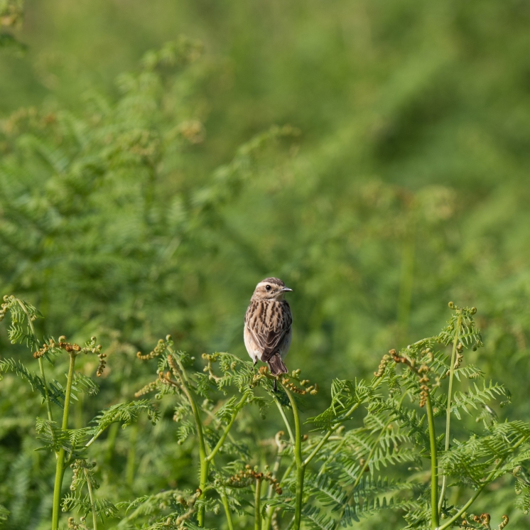 Whinchat on bracken