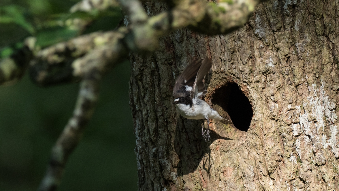 Male pied flycatcher leaves its nest site in an ancient oak