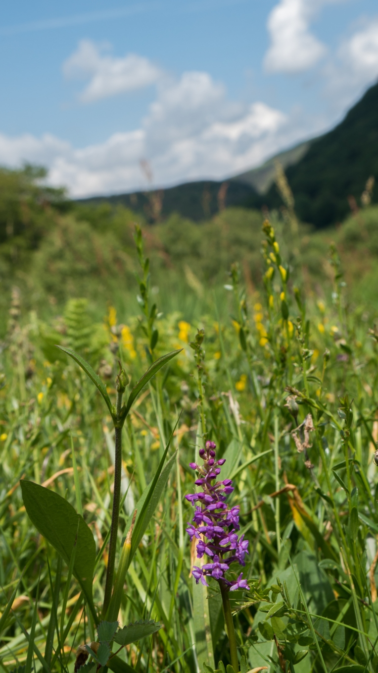 Fragrant orchid in the Irfon Valley