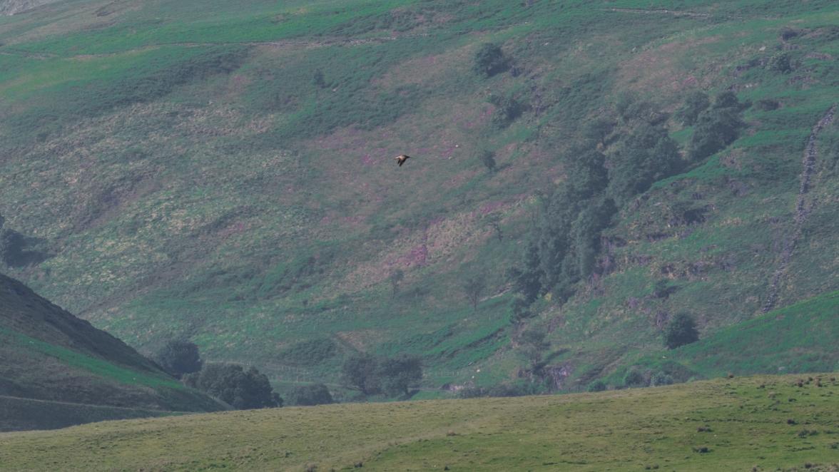 Curlew over rhos pastures