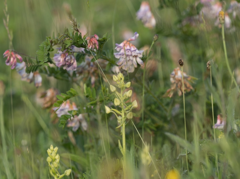 Wood bitter-vetch and greater butterfly orchids in bud