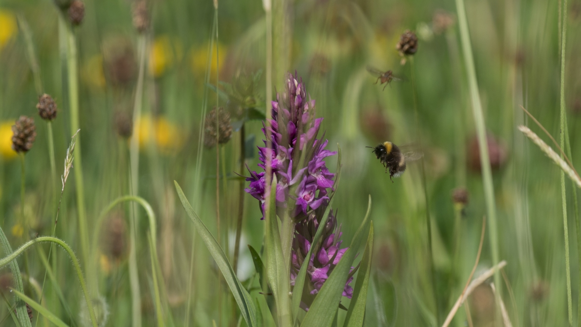 Marsh orchid in the meadow
