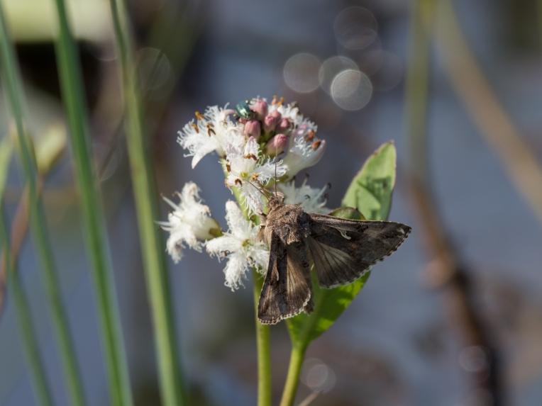 Bog-bean and silver-Y moth at Gors Lwyd