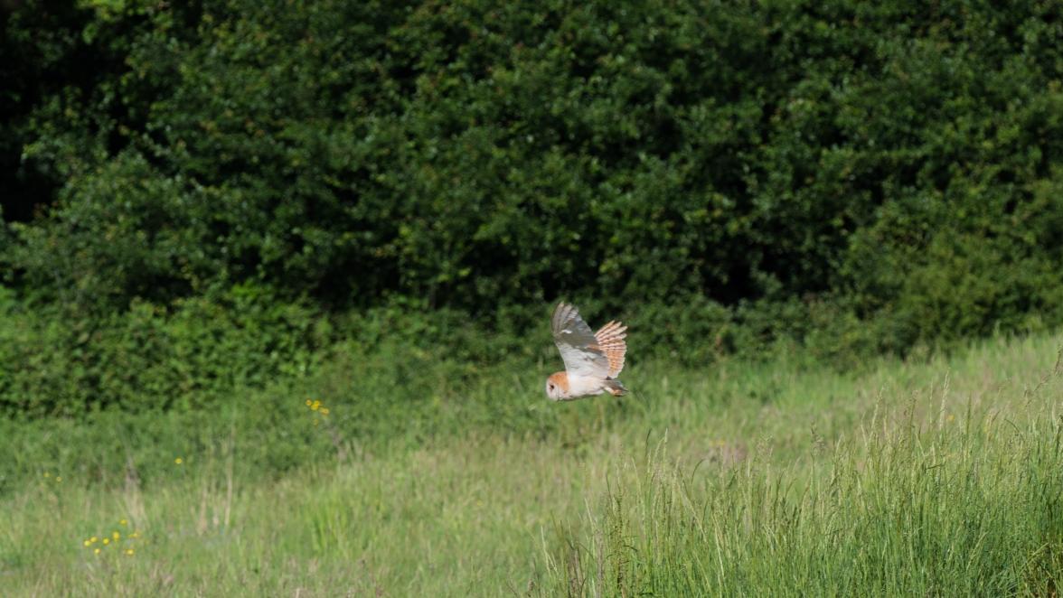 Hunting barn owl 2