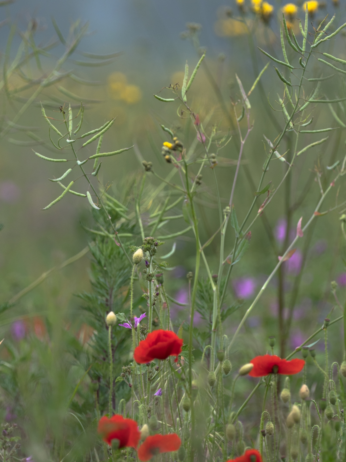 Arable weeds