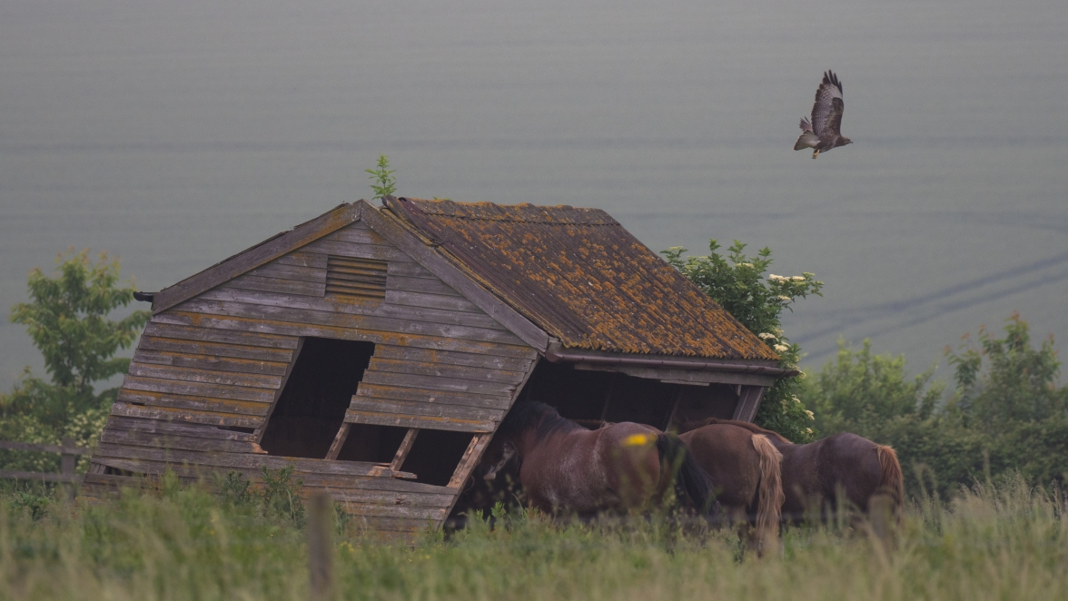 Buzzard leaving its perch on an old stables