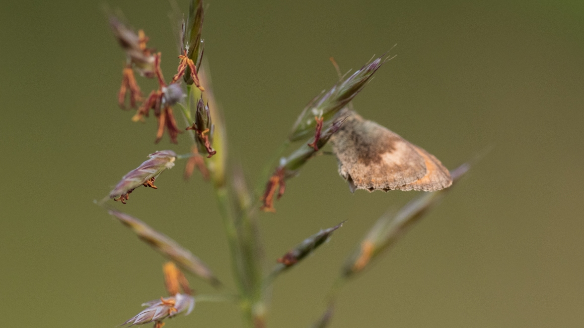 Small heath on upright brome