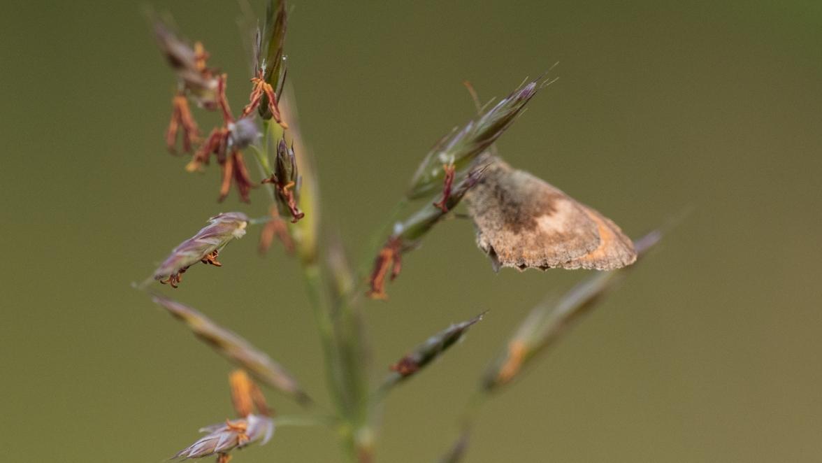 Small heath on upright brome