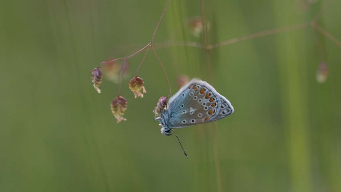 Common blue on quaking grass