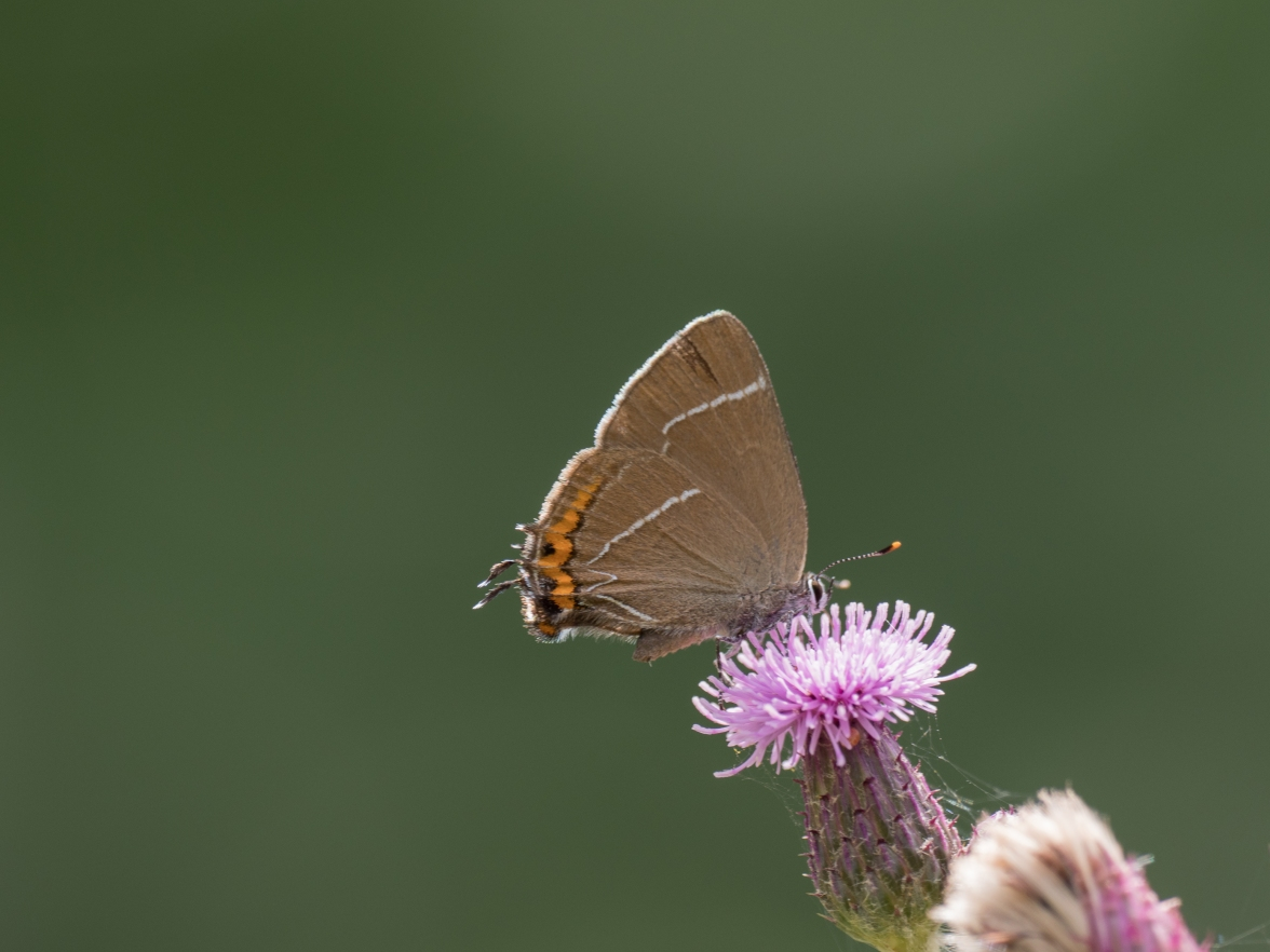 White-letter hairstreak on thistle