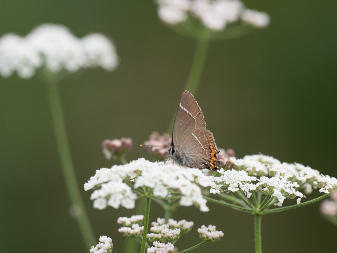 White-letter hairstreak on chervil