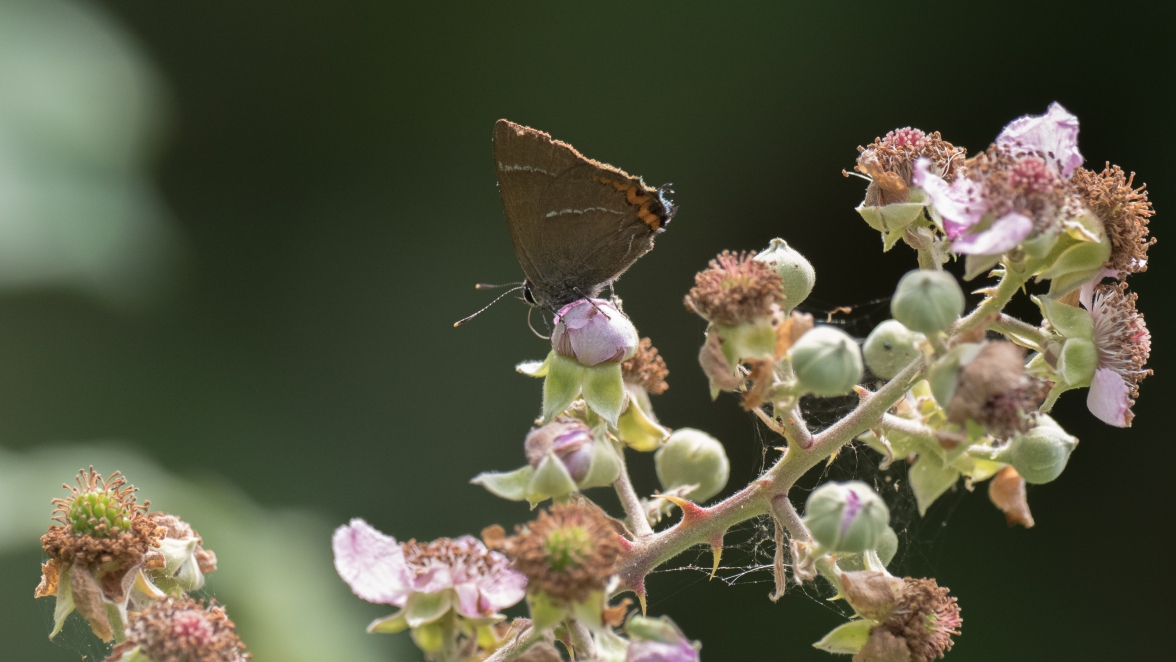 White-letter hairstreak on bramble