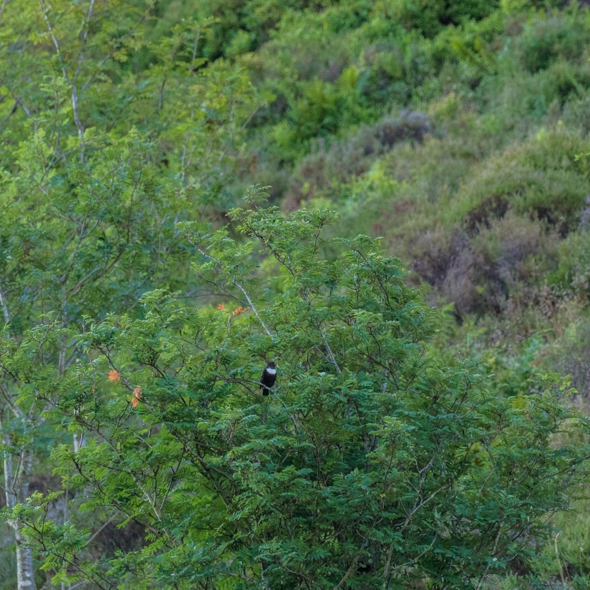 Distant male ring ousel on the slopes