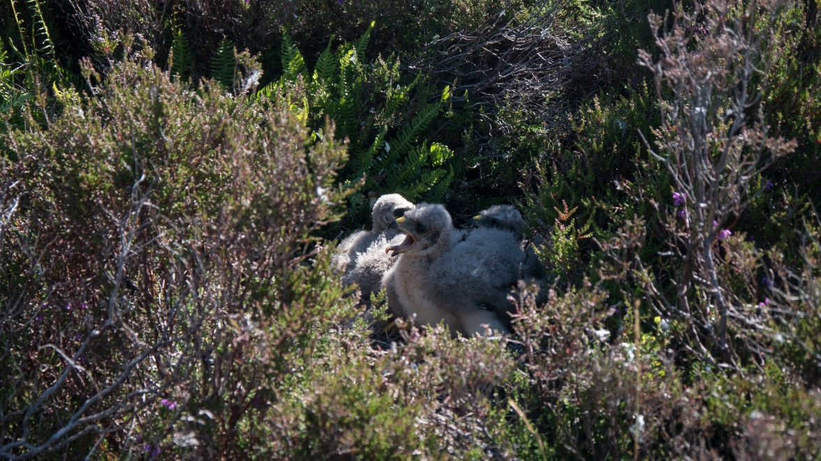 Brood of young hen harriers in the deep heather