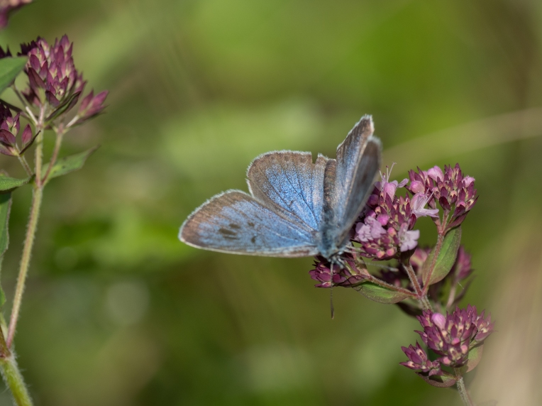 Large blue on marjoram