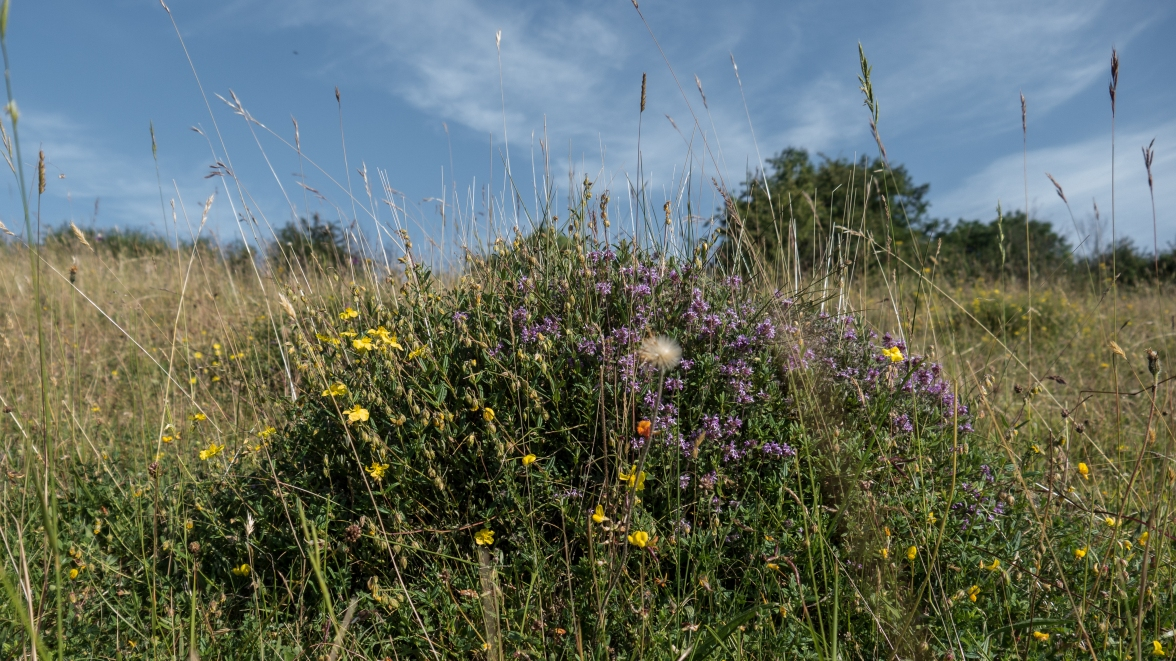 Ant hill covered in thyme and rock rose