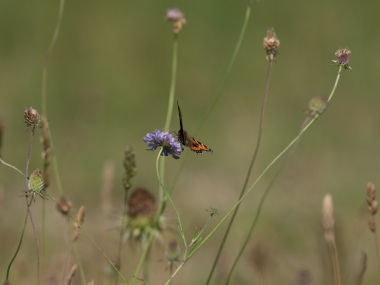 Small tortoiseshell on scabious