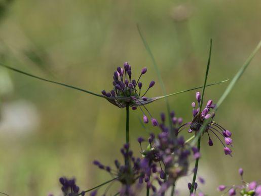 Grape hyacinth species