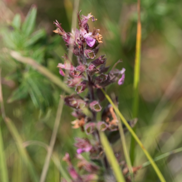 Lousewort species