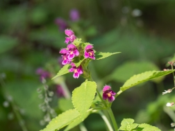 Red dead nettle species