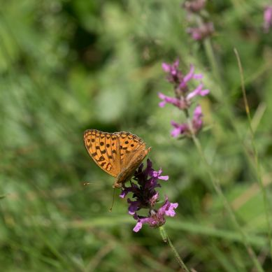 Possibly high brown fritillary