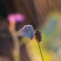 North Downs Butterflies