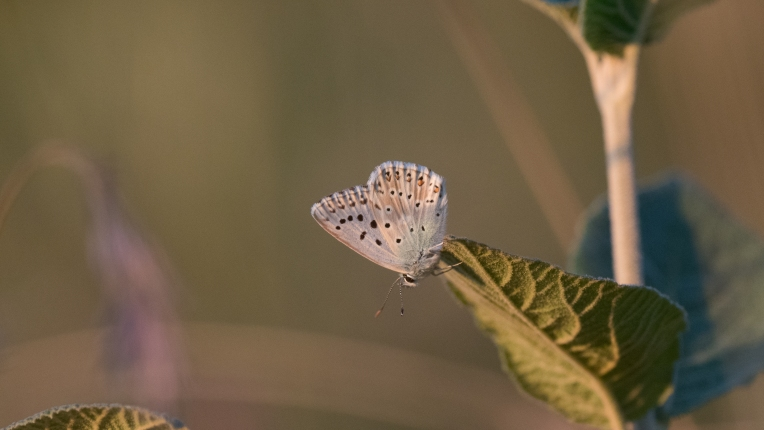 Male chalkhill blue