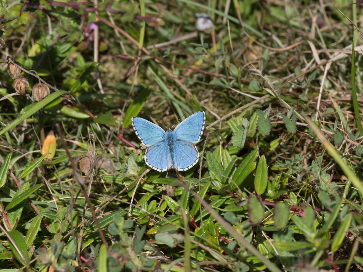 Male Adonis blue on the short turf