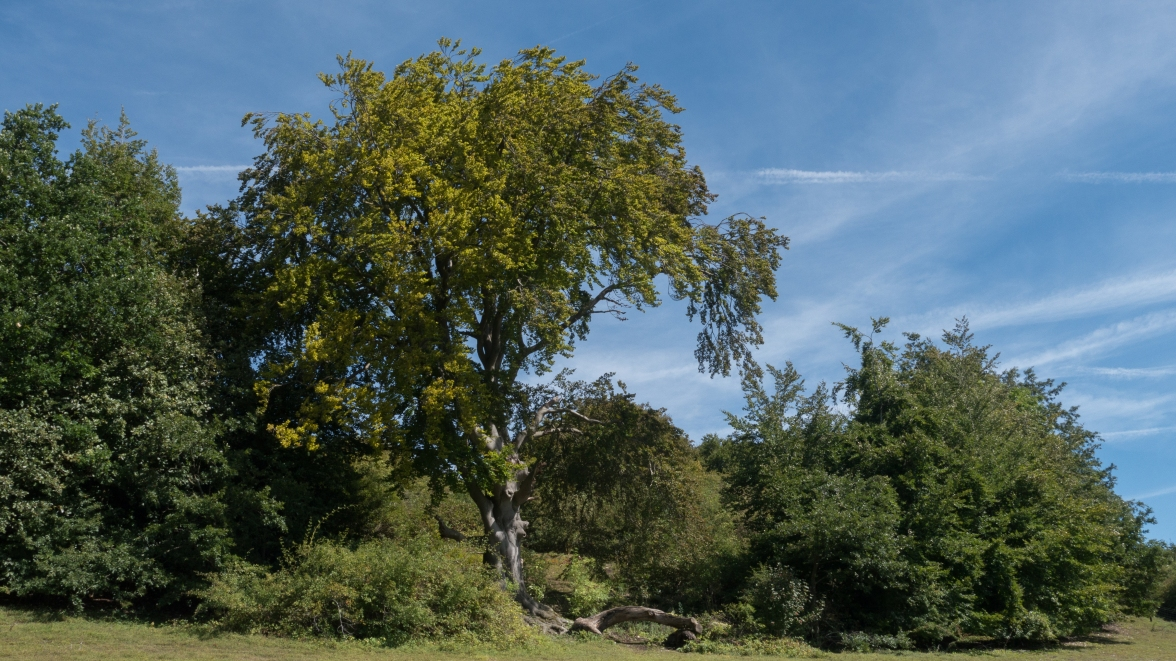 Ancient beech tree at Queensdown Warren