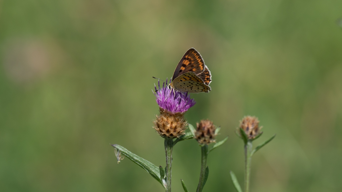 Sooty copper