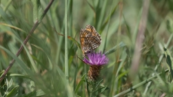 Heath fritillary prefers the knapweed