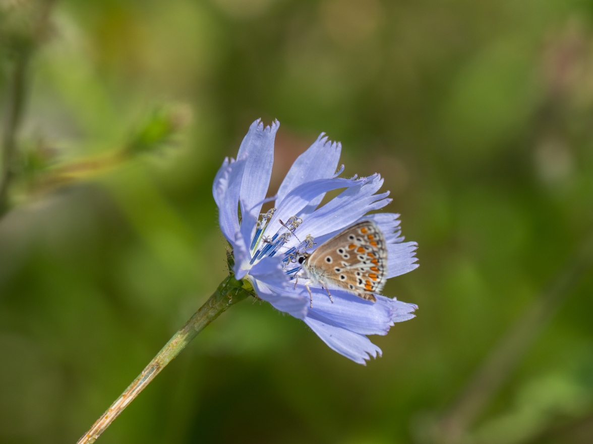Brown argus on chicory