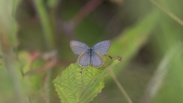 Provencal short-tailed blue male