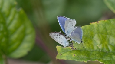 Mating pair of Provencal short-tailed blue and an interloping male