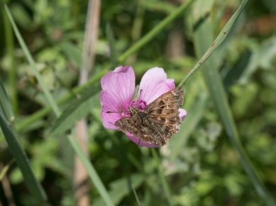 Mallow skipper on mallow
