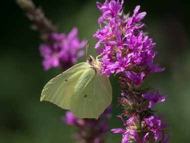 Brimstone on purple loosestrife