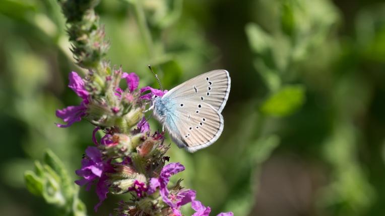 Mazarine blue on purple loosestrife 4