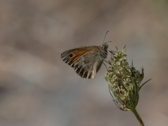 Small heath on wild carrot