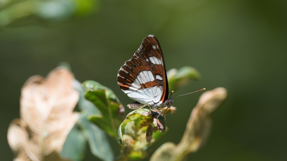 White admiral on adjacent oak
