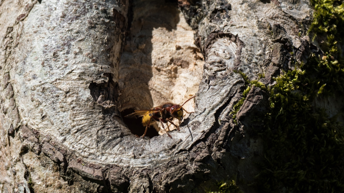 A sting in the tale: a hornet guarding its nest in a decaying tree