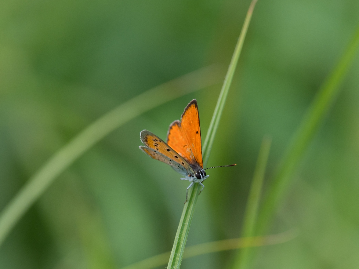 Large copper - moves to rest on grass when the sun goes in