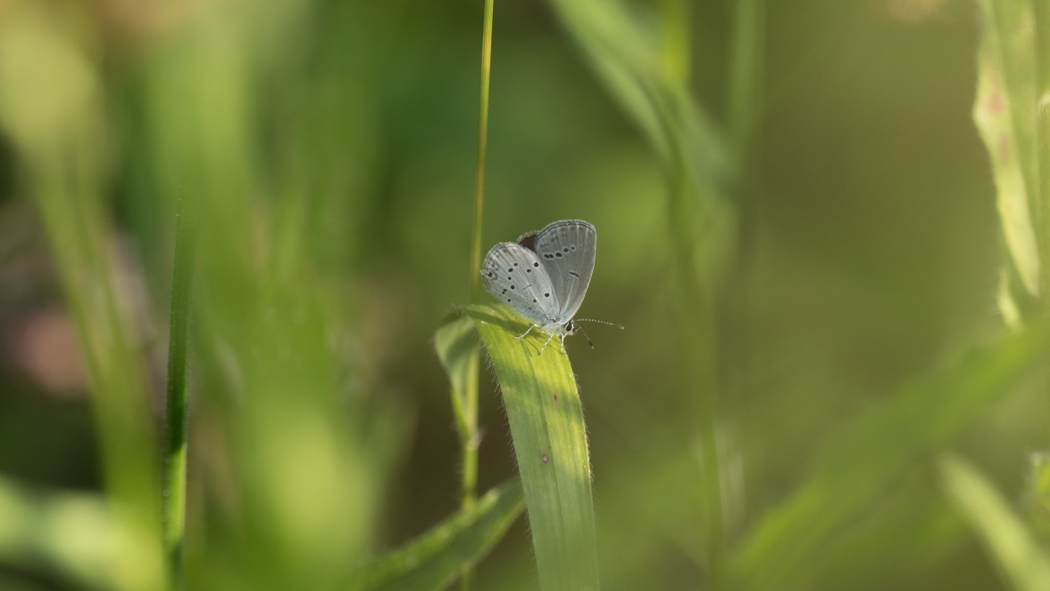Provencal short-tailed blue