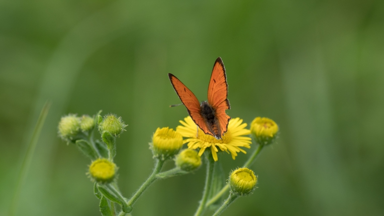 Large copper on common fleabane