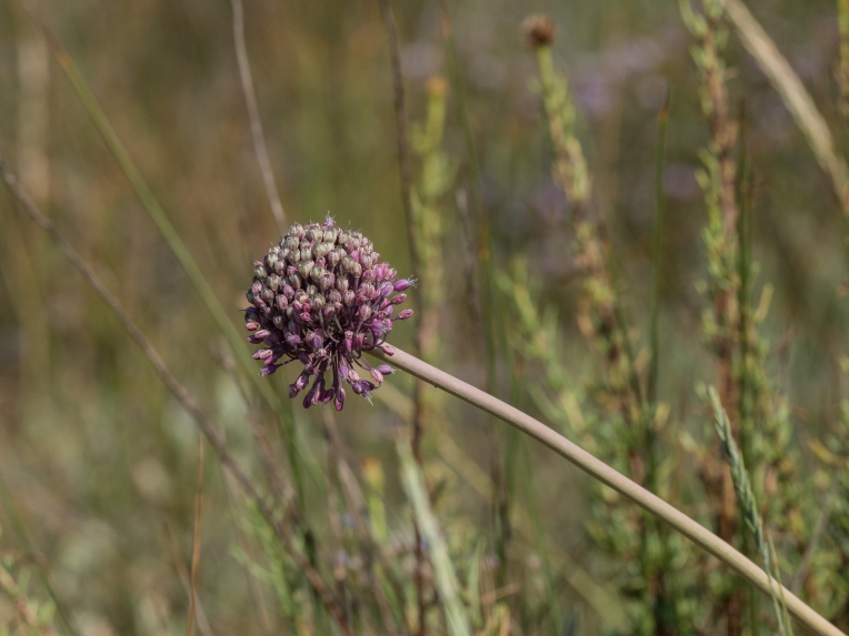 Wild leek grows in the narrow strip of saltmarsh along with sea lavender at the edge of the lagoon
