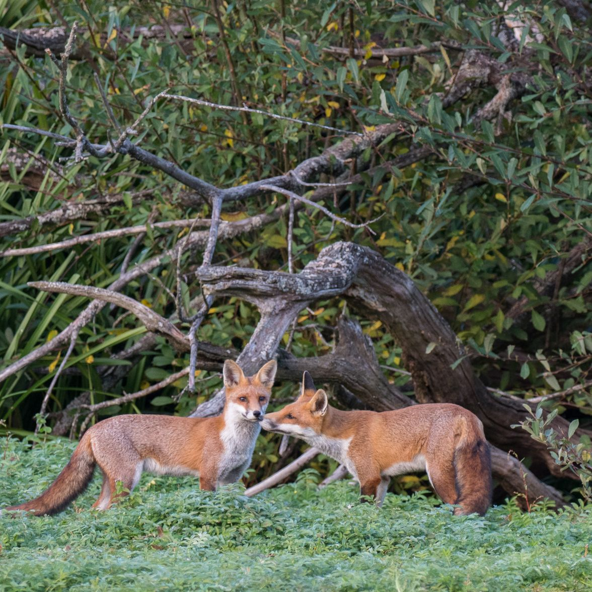 Foxes on the edge of the the flood